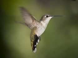 In flight qualities of a humming-bird surpassed helicopters